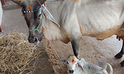 10 Must Know Significance of Giving Roti to Cow