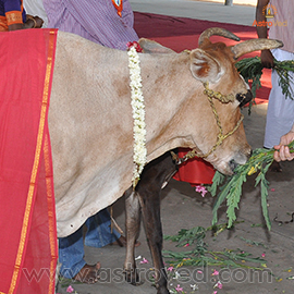 Feeding Cows with Agastya Leaves