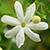 JadheMalli Flower