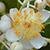 Punnai Flower