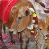omen-to-revive-cow-pooja-small