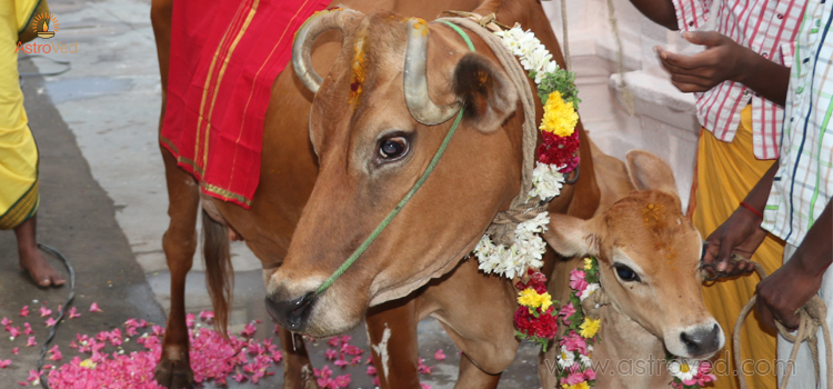 omen-to-revive-cow-pooja