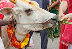 Feeding Cow with Agathi Leaves (Spinach)